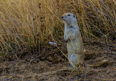Gopher Standing Near Cover Stock Photography