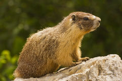 Gopher standing on rock Stock Images