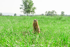Gopher standing and starring on meadow Stock Images