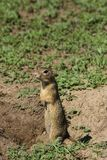 A gopher standing on two legs and being very alert on surroundin Royalty Free Stock Photo