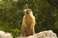 Gopher standing watching on a rock Stock Photos