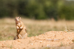 Gopher. Standing and watching Gopher something Royalty Free Stock Photos