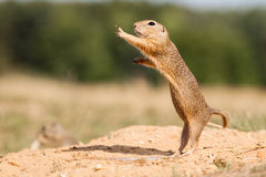 Gopher. Standing and watching Gopher something royalty free stock photo