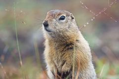 Gopher stands guard. Kamchatka, Russia. royalty free stock photos