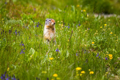Gopher starring and standing near the burrow on meadow. Gopher standing and starring near the burrow on green meadow Royalty Free Stock Image