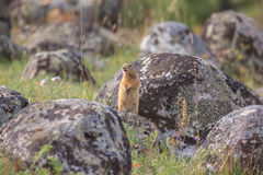 Gopher on a stone Stock Images