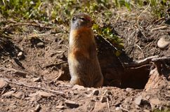 A gopher stops for a minute to have a look around Stock Photo