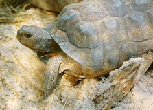 Gopher Tortoise. A Gopher Tortoise sunning himself in front of his burrow stock images