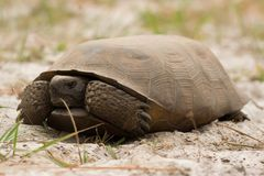 Gopher Tortoise. The gopher tortoise (Gopherus polyphemus), native to the southeast United States, is listed as a Vulnerable species under the IUCN.  It is Stock Photos