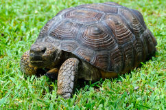 Gopher Tortoise Royalty Free Stock Photo