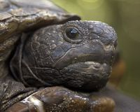 Gopher tortoise. Photo by Michael R. Brown stock photography