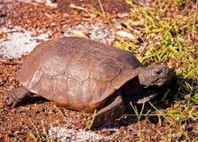 Gopher Tortoise Stock Photos