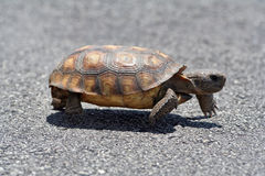 Gopher Tortoise Crossing Road. Picture of the endangered Gopher Tortoise Crossing the Road stock photography