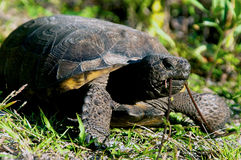 Gopher tortoise eating. Close up of a large Gopher Tortoise in profile eating grass, low angle shot. This turtle is endangered and protected in Florida Stock Photos