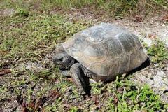 Gopher Tortoise Royalty Free Stock Photo