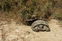 Gopher Tortoise. A Gopher Tortoise emerging from it`s burrow stock photos