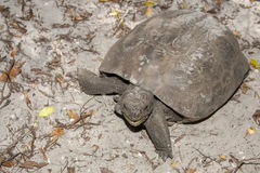 Gopher Tortoise Royalty Free Stock Photos