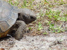 Gopher Tortoise stock image