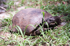 Gopher Tortoise Stock Photo