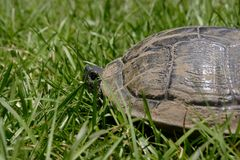 Gopher Tortoise. A photo of a gopher tortoise in south GA Royalty Free Stock Photo