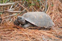 Gopher Tortoise on pine needles. A gopher tortoise on pine needles.   It was giving me Stock Image