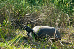 Gopher tortoise in prifile Royalty Free Stock Photography