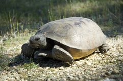 Gopher tortoise in situ Royalty Free Stock Photos
