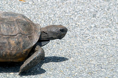 Gopher tortoise walking Stock Image
