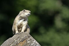 Gopher on tree stupm Stock Photography