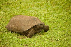 Gopher turtle. Royalty Free Stock Photos
