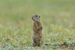 Gopher in two feet stock images