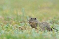 Gopher in two feet in nature. Royalty Free Stock Photos
