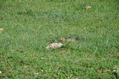 Gopher w trawie Zdjęcia Stock