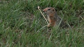 Gopher whistles stock video footage
