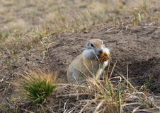 Gopher woke up in the spring. Fluffy animal gopher eats bread at the burrow on a warm spring day in the Park Royalty Free Stock Photo