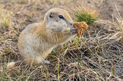Gopher woke up in the spring. Fluffy animal gopher eats bread at the burrow on a warm spring day in the Park Stock Photos