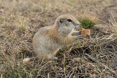 Gopher woke up in the spring. Fluffy animal gopher eats bread at the burrow on a warm spring day in the Park Stock Photography