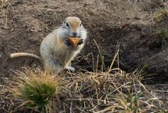 Gopher woke up in the spring. Fluffy animal gopher eats bread at the burrow on a warm spring day in the Park Stock Photo