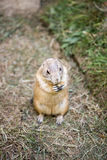 Gopher in zoo. Gophers in zoo on the grass eating stock photo
