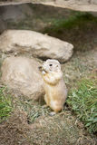 Gopher in zoo. Gophers in zoo on the grass eating royalty free stock image