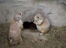 Gopher in zoo. Two gophers in zoo eating royalty free stock image