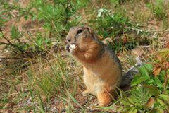 Eating gopher Stock Photography