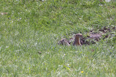 Gophers in a green grass Stock Photography