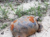 Gopherschildpad stock foto