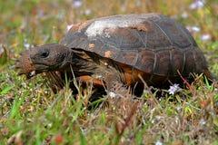 Gopherschildpad (Gopherus-polyphemus) royalty-vrije stock fotografie