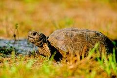 Gophersköldpadda, Gopheruspolyphemus fotografering för bildbyråer