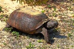 Gophersköldpadda (Gopheruspolyphemusen) fotografering för bildbyråer