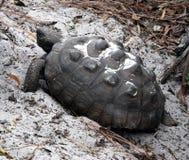 Gophersköldpadda (Gopheruspolyphemusen) royaltyfri fotografi