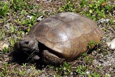 Gophersköldpadda (Gopheruspolyphemusen) arkivfoto