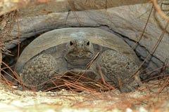 Gophersköldpadda (Gopheruspolyphemusen) arkivbild
